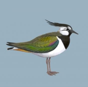 http://ptaki.info/imgekoprojekty/image/ptaki/Vanellus-vanellus.jpg